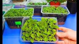 видео Основы выращивания эустомы из семян
