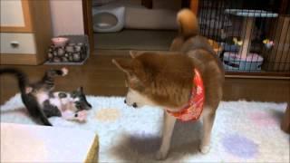 柴犬と子ネコが初めて遊べた! thumbnail