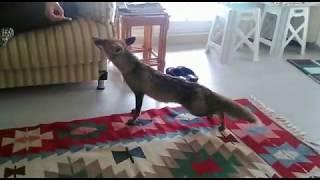 Evcil Tilki Görmüş müydünüz?