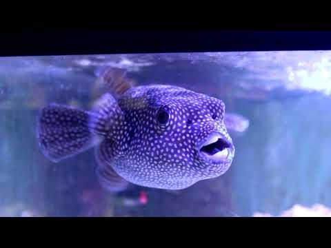 All About PUFFERFISH! | Tank Tips