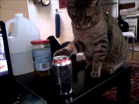 Cat vs Soda Can