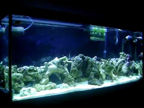 55 gallon Salt Water tank with Purple Coraline Algae Live Rock