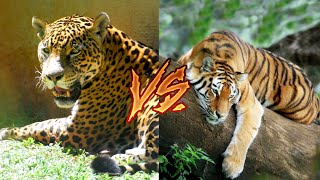 Ягуар против Бенгальский тигр