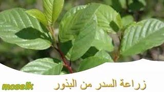 زراعة السدر   النبق   من البذور