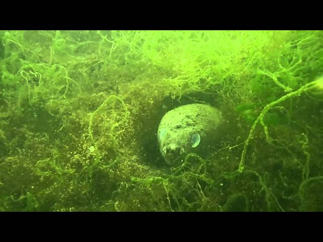 Moray Eel 05/17/12 Channel Islands Harbor California