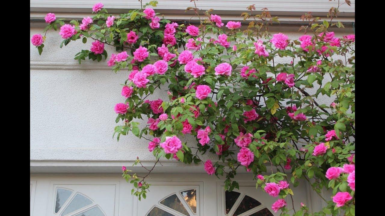 Декоративная ветка искусственной глицинии для флористики и оформления интерьеров. На ветке 5 соцветий кремового цвета. Купить искусственные цветы в интернет магазине, оптом и в розницу. (ru).