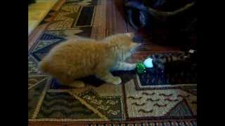 American Bobtail Kitten playing fetch with ball