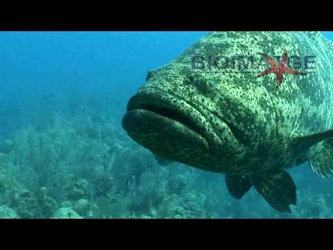 Goliath Grouper Attack - El Mero Gigante