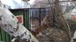 2 große bellende Hunde Wachhunde Sound Sample dog guard dog big HD