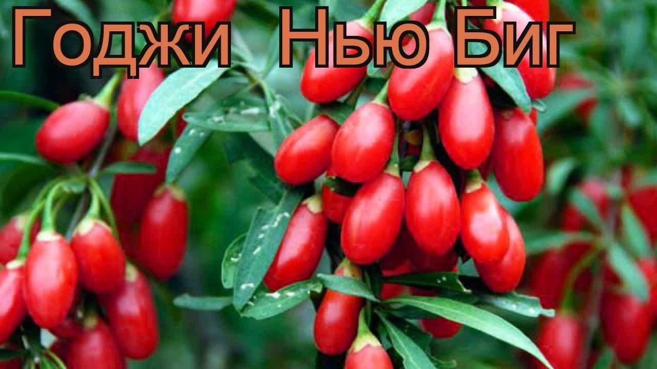 ягоды годжи свойства и противопоказания ютуб