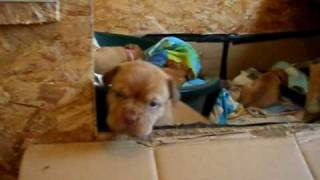 Dogue De Bordeaux Pup  4weeks 2days