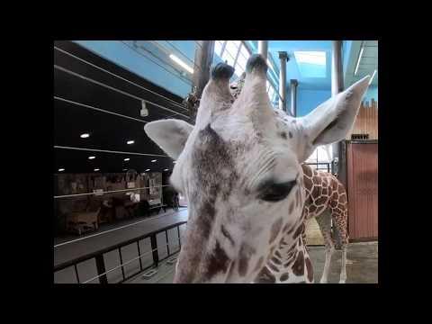 Giraffe Browse