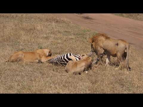 Lions Killing Zebra thumbnail