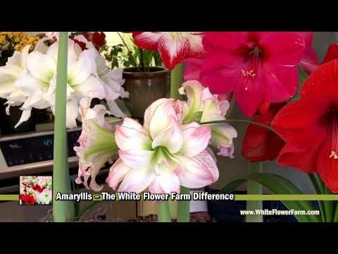 Amaryllis -- The White Flower Farm Difference