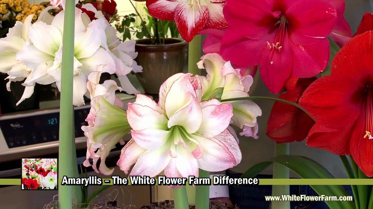 Amaryllis The White Flower Farm Difference Youtube