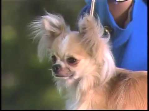 Chihuahua  - AKC - Dog breed series 1989 - Chihuahua Club of America