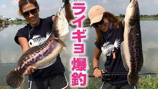 メタルバイブでライギョ爆釣 Snakehead fishing in thailand Pilot 111 Fishing Pool