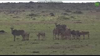 ~ Zwierzęta Afryki - Antylopy Eland ~  Safari