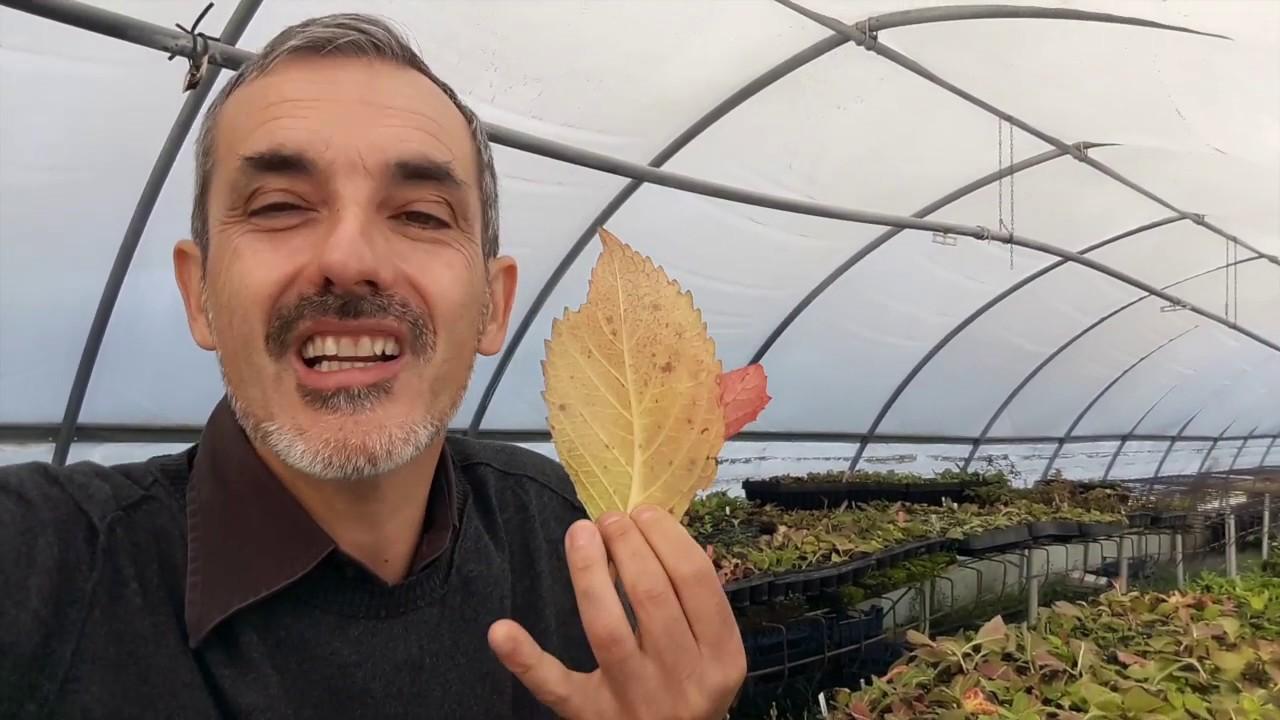 Ortensie Bianche Come Curarle come capire dalle foglie dell'ortensia la salute della pianta