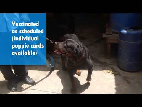 Rottweiler Puppies for SALE (MOMBASA) : Call Charles on 254 722 292984