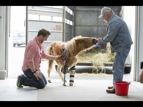 Mini Horse Overcomes the Odds With Help From Plastic Prosthesis