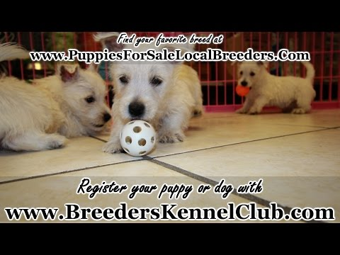 West Highland White Terrier PUPPIES FOR SALE GEORGIA LOCAL BREEDERS