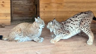 SIMBA FELL IN LOVE WITH LYNX HANNAH / Updates in Cougar and lynx enclosures