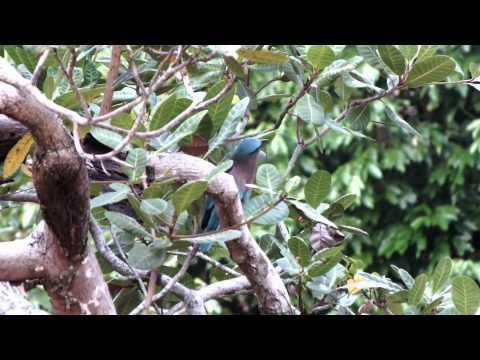 Coracias benghalensis