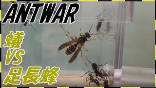 蟻戦争#130   トゲオオハリアリVSアシナガバチ~数の暴力~編~ant vs wasp~ thumbnail