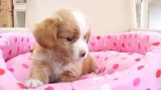 11月20日生まれのミックス犬 狆×ミニチュアダックスフンドの男の子...