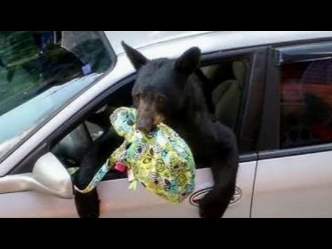 Download Bears Breaking In Caught on Camera