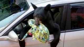 Scary Bears Breaking In...