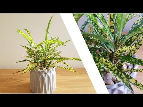 """How to Grow plants """"Gold Star Croton"""" Re-potting  Deco Tip//"""