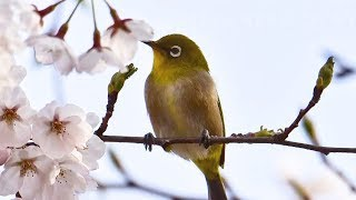 """Peaceful Soothing Relaxing Music, """"Dawning Spring"""" by Tim Janis"""