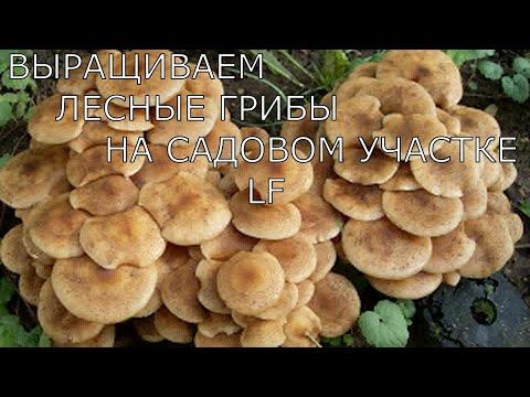 Вопрос: Можно ли вырастить лесные грибы в домашних условиях Как?