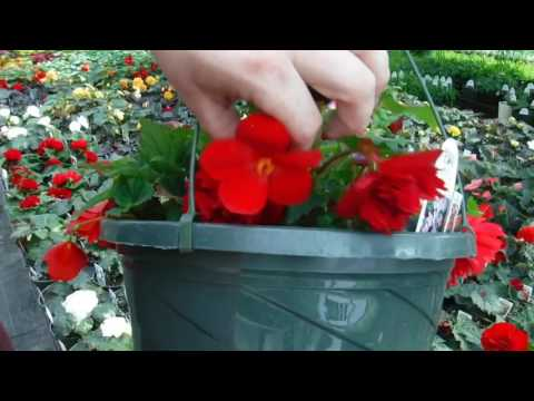 How to grow MASSIVE Begonia Flowers! [Greenhouse Secret]