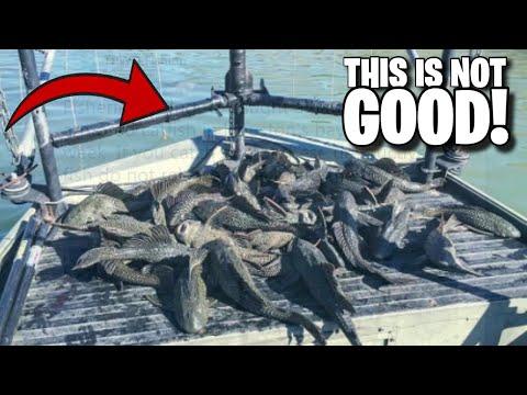 Mutant Pleco Fish INVADE Texas Waterways!