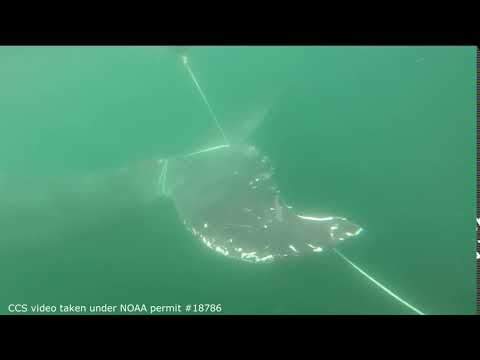 Entangled humpback whale off Ballston Beach, Truro. September 12, 2017. CCS, NOAA permit #18786.