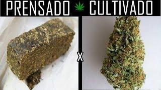 Diferenças da Maconha PRENSADA x  CULTIVADA (FLOR) thumbnail