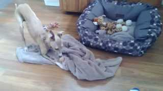 Bella The Italian Greyhound playing with the milk container - IGG dogs - Italian Greyhound Puppy