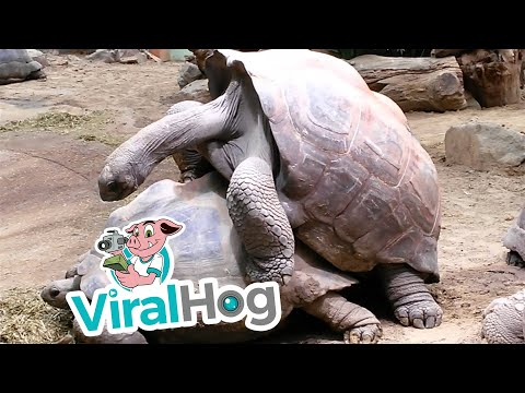 Aldabra Giant Tortoises Mating Loudly