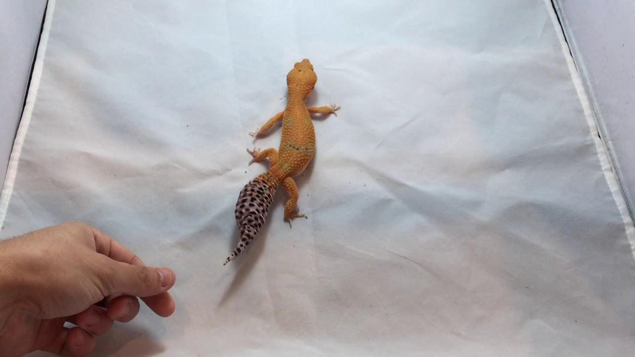 Leopard Gecko Color Morphs & Leopard gecko Genetics | Electric Tangerine  Leopard Geckos for sale