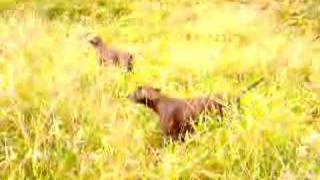German Shorthaired Pointers Hunting On Pheasants