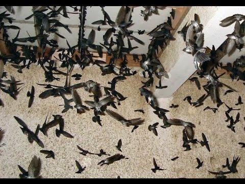 suara burung walet terbaik 2017