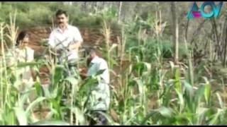 Maize cultivated successfully