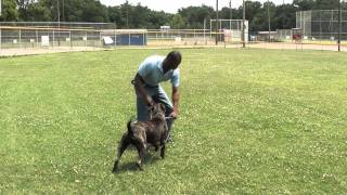 Guy Nashville Dog Trainer 037 Teaching A Bull Mastiff Intermediate Obedience