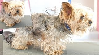 PetGroooming  Yorkie Transformation of the Month! Grooming Yorkshire Terrier.