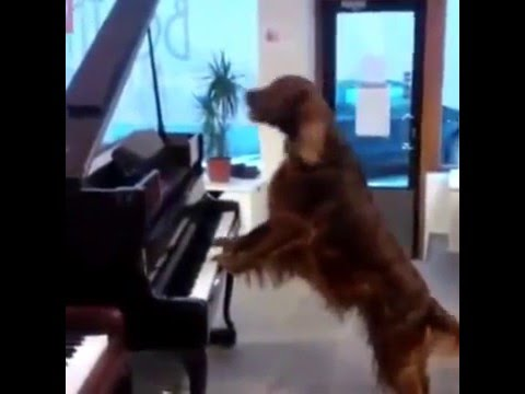 dogs playing piano and singing
