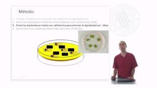 Transformación genética mediante Agrobacterium tumefaciens | 21/48 | UPV