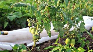 Набрызгала на томаты этот раствор думала ерунда через день завязалось помидорок не считано!